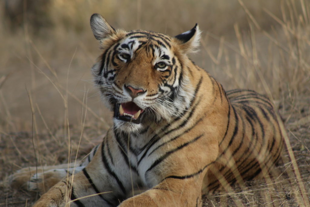 Tiger 1 AP