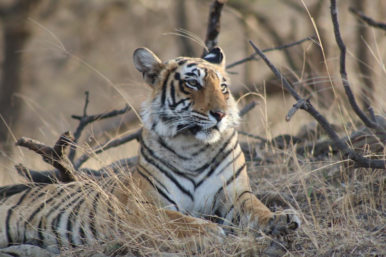 Tiger 3 AP (2)