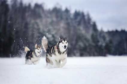 two dogs breed Alaskan Malamute walking in winter forest