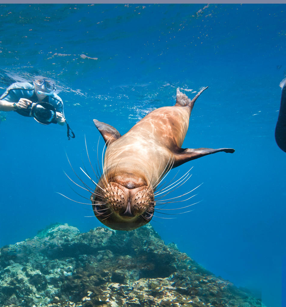 Galapagos sea lions (Zalophus wollebaeki) underwater with snorkelers on Champion Island in the Galapagos Island Archipelago, Ecuador.